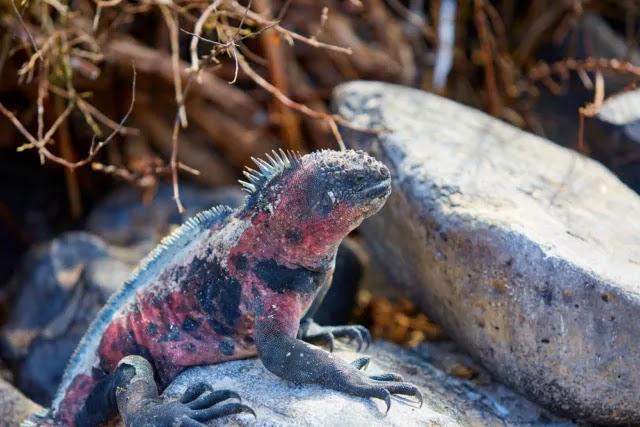 iguana-pink