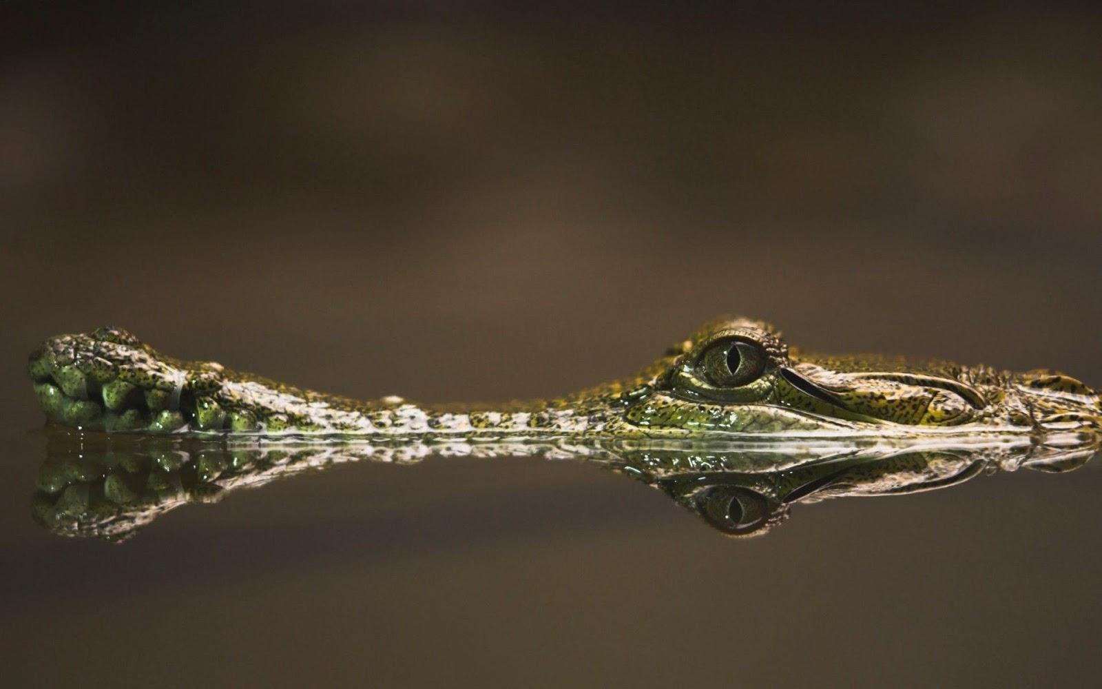 Baby Alligator photo