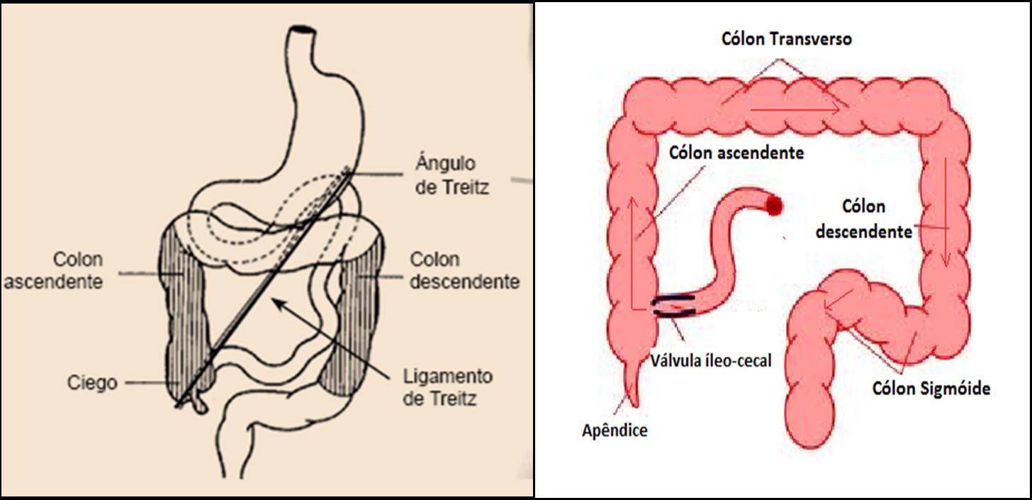 Lujoso Ligamento De Treitz Anatomía Ornamento - Imágenes de Anatomía ...