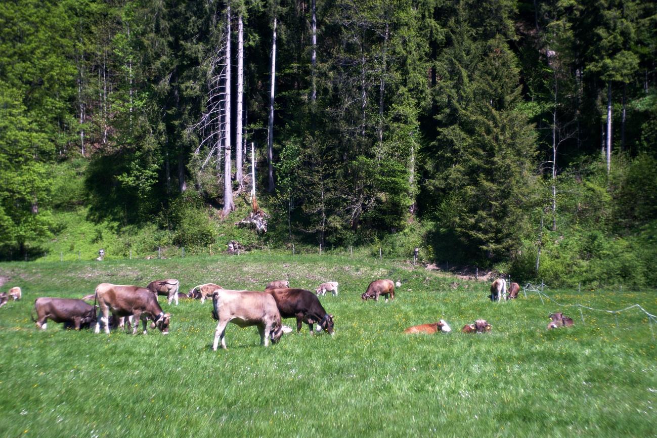 Ein Allgäuer Kuhgruss am Morgen: Muhh