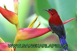 Rahasia Perawatan Kolibri Sepah Raja Sampai Ngerol