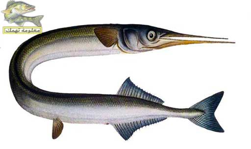 انواع السمك في البحر الأحمر _ سمك الخُرْم ، أو الكومبير