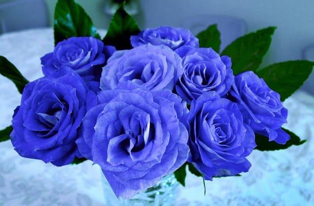 Bunga mawar biru sebagai simbol cinta pertama dan simbol kekhawatiran