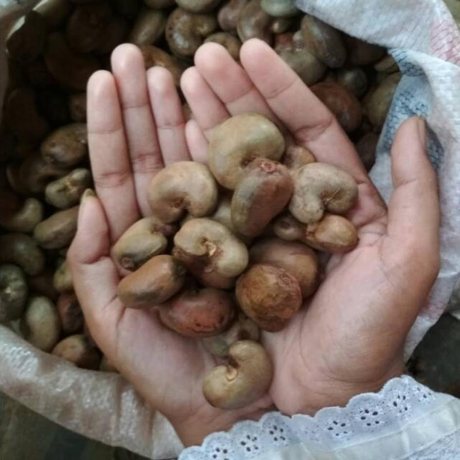 Benih Biji Bibit Jambu Monyet 1 Kg Kacang Mete Mente Mede Banda Aceh