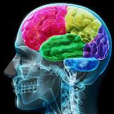 Pengertian, Fungsi, dan Bagian - Bagian Otak Manusia
