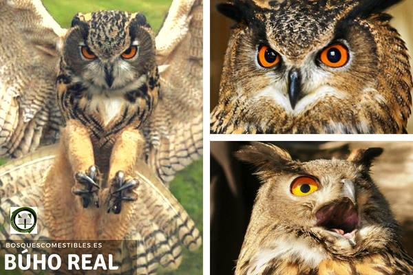 Búho Real, Bubo bubo, se caracteriza por sus ojos grandes y anaranjados, el plumaje pardo.