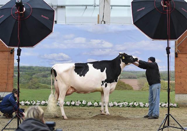 Корова зірка