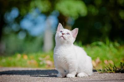 Karakter Ras Kucing Munchkin