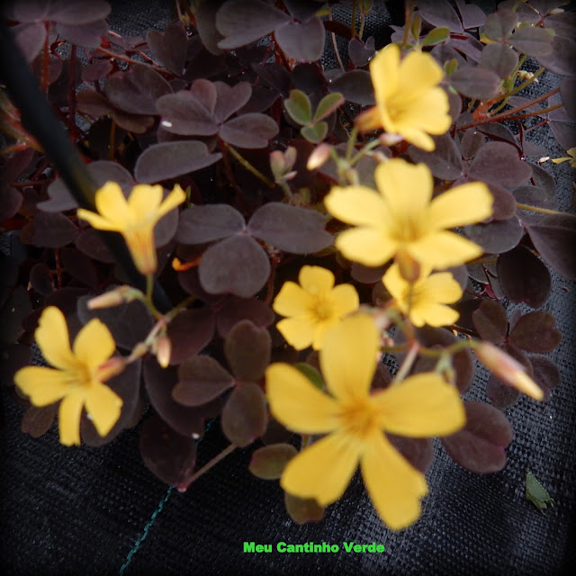 Trevo flores amarelas