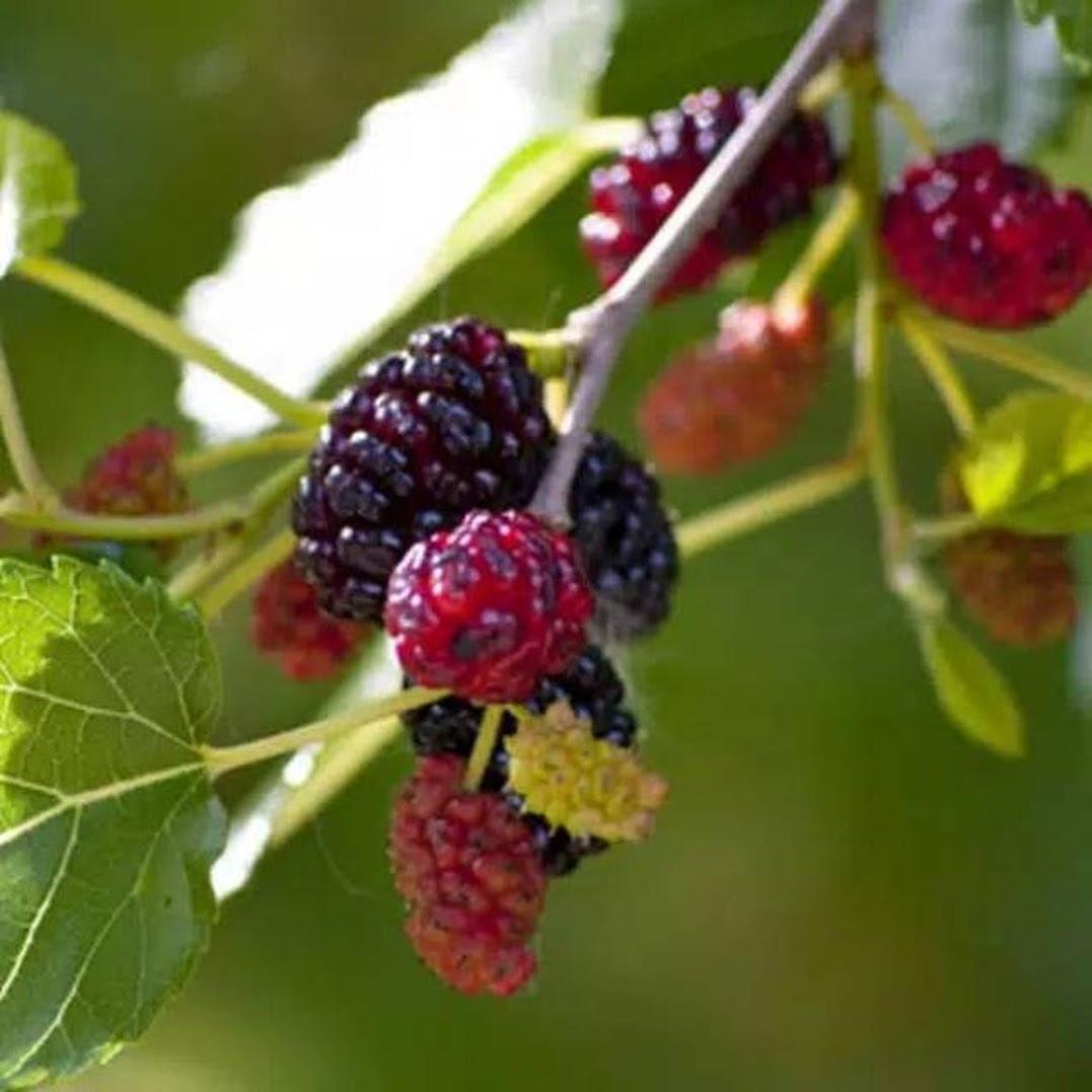 Bibit tanaman buah murbey sudah berbuah murah Banjarbaru