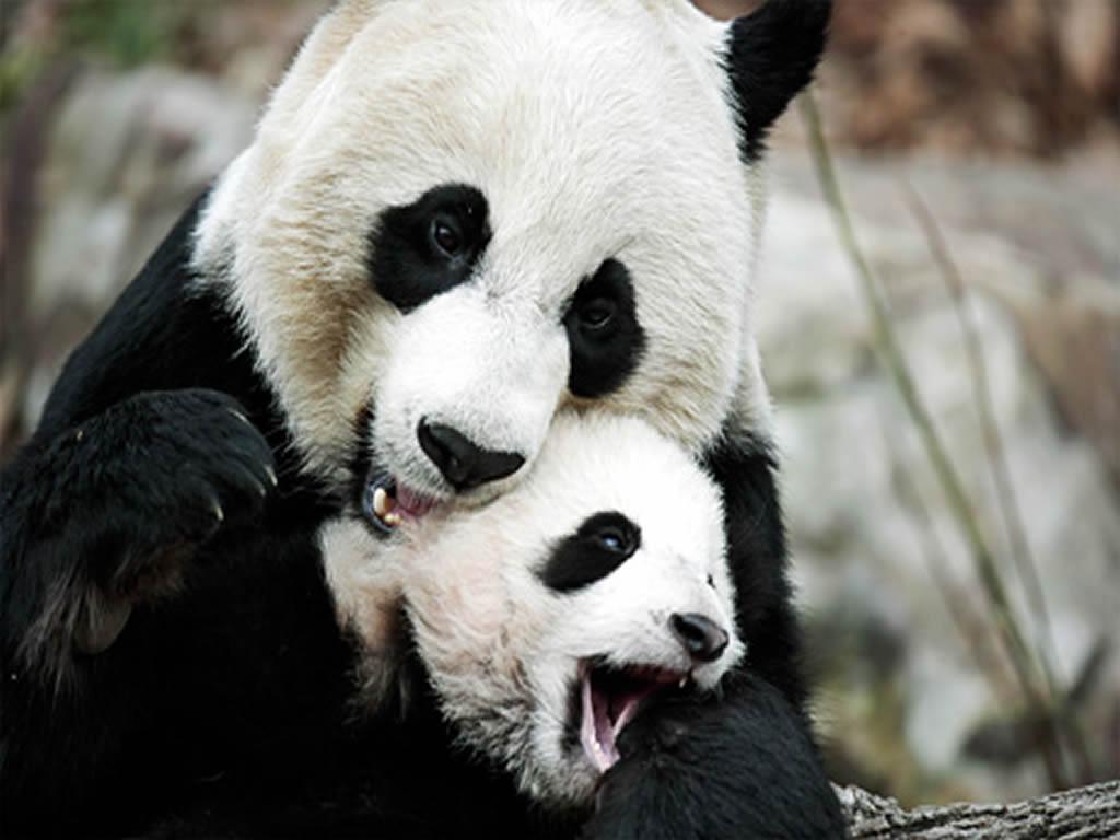 Chinese Panda Wallpapers 171 Nat Geo Adventure