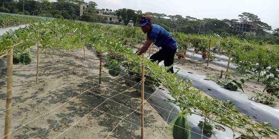 petani sedang menanam semangka