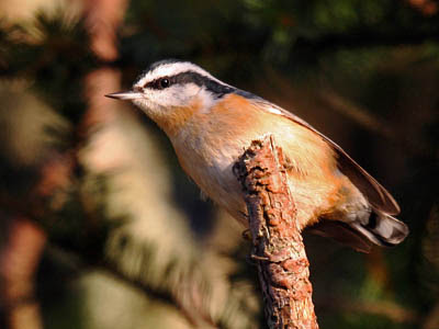 Photo of male Red-breasted Nuthatch on branch