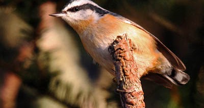 What Do Red Breasted Nuthatches Look Like What Birds Are In My Backyard