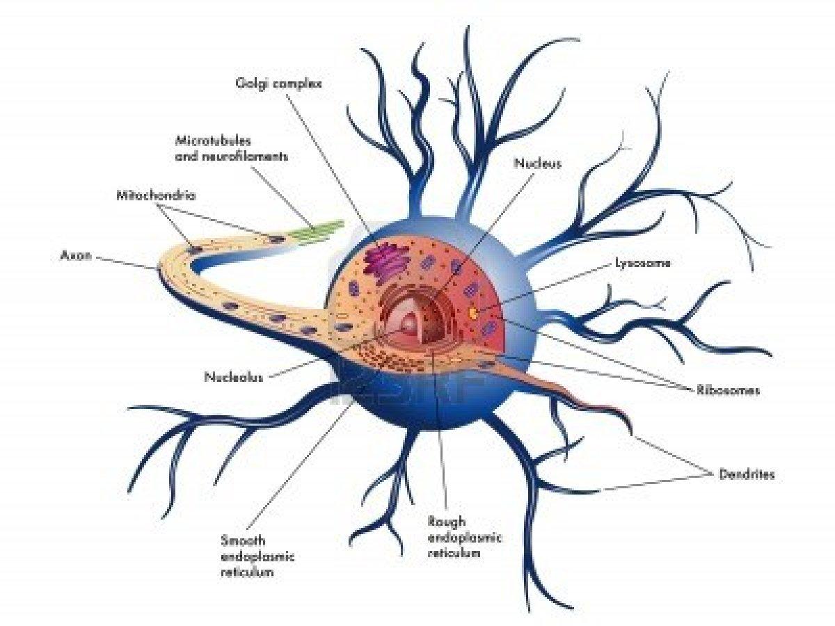 Human Brain Cell Diagram 2001 Ford Taurus Stereo Wiring Unirsi Contro La Sla