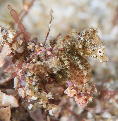 An adult male pygmy seahorse