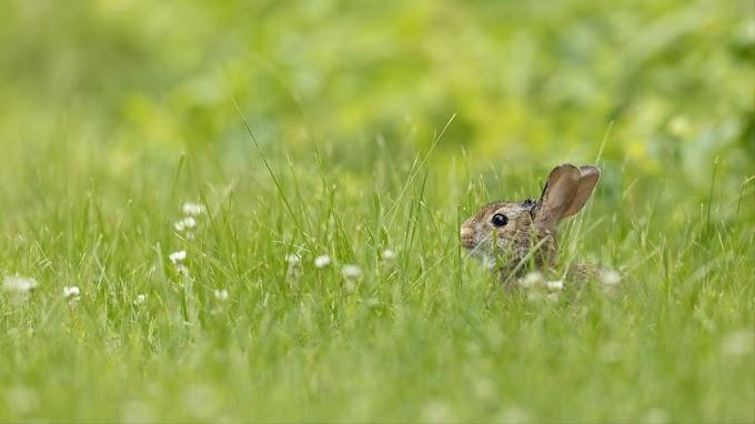 Papel de Parede Animal Coelho Rabbit