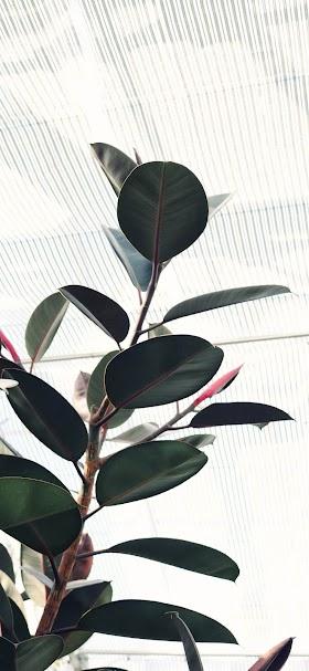 خلفية نبتة زينة خضراء بأوراق ضخمة تنمو داخل المنزل