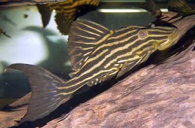 Ikan Sapu-Sapu Golden Royal Line ( Pleco L027c )