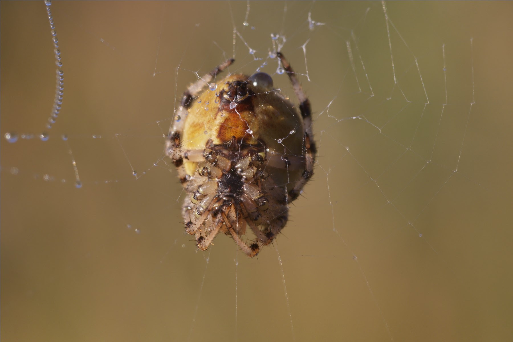 Sigma 105mm f/2.8 EX DG Macro, European garden spider