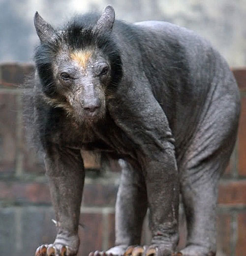 now you know how a bald bear looks like