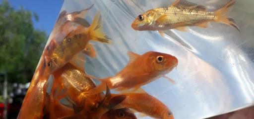 Virmond: Secretaria de Agricultura realiza pedidos de alevinos de peixes