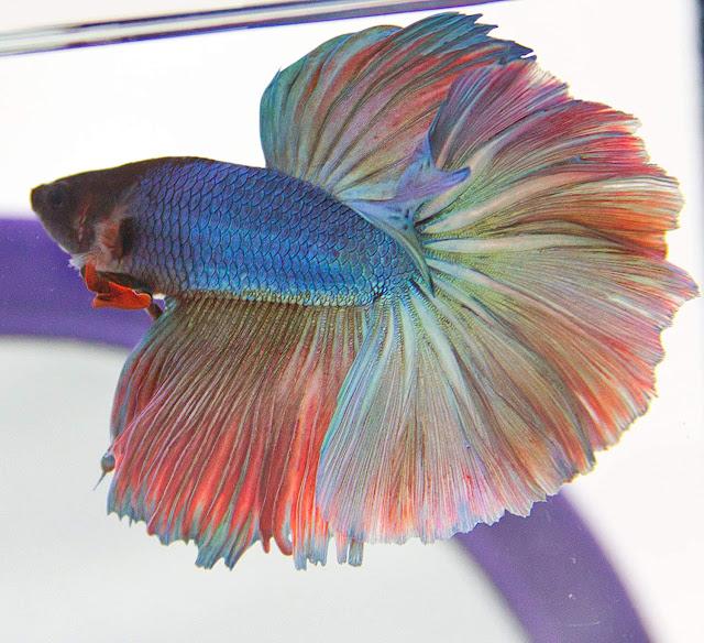 Gambar Ikan Cupang Over Halfmoon
