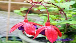 Tanaman Hias untuk Balkon Fuchsia