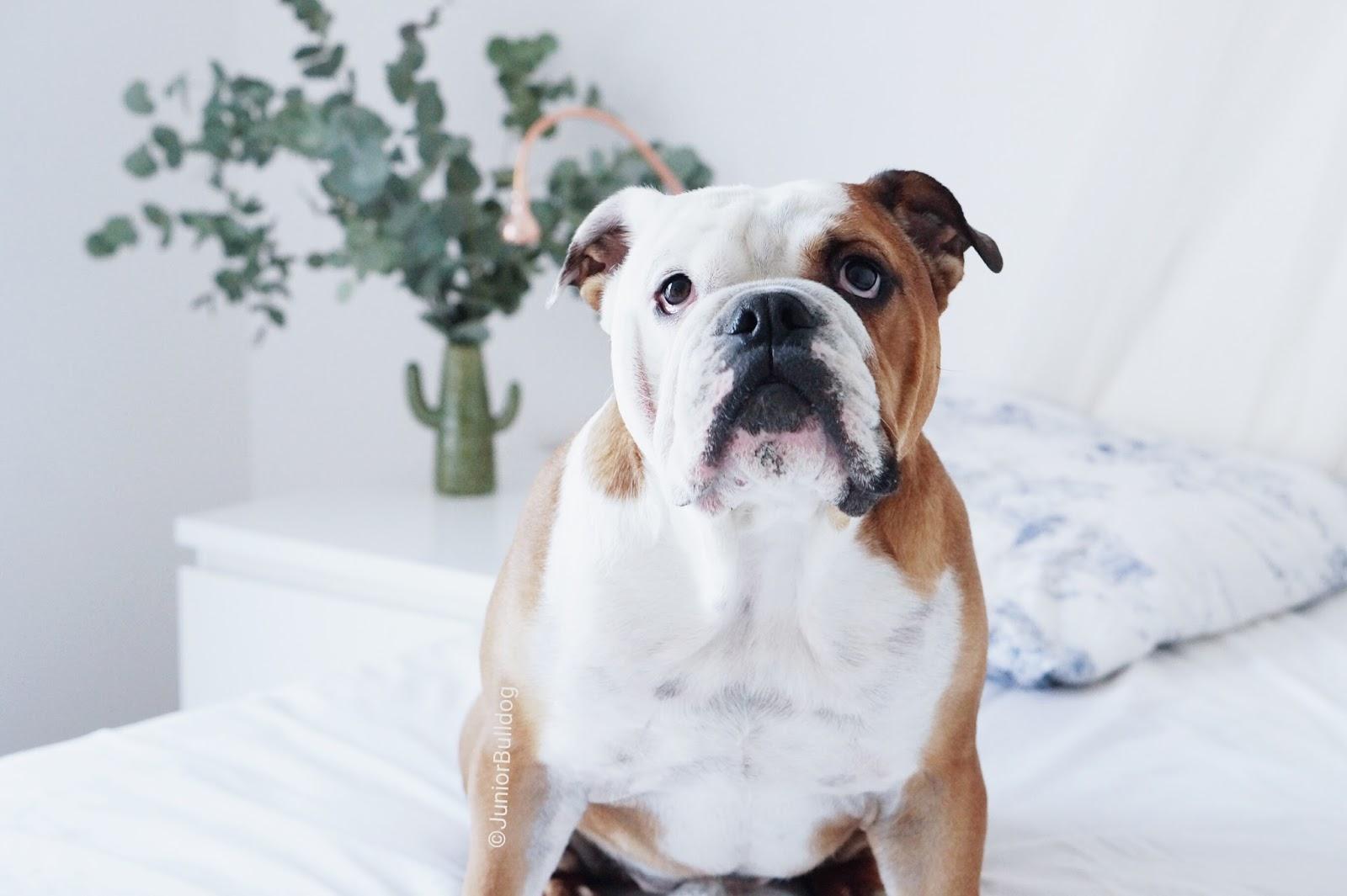 bulldog anglais mâle
