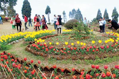 Tulips bloom in Deolo Tourist Lodge Kalimpong