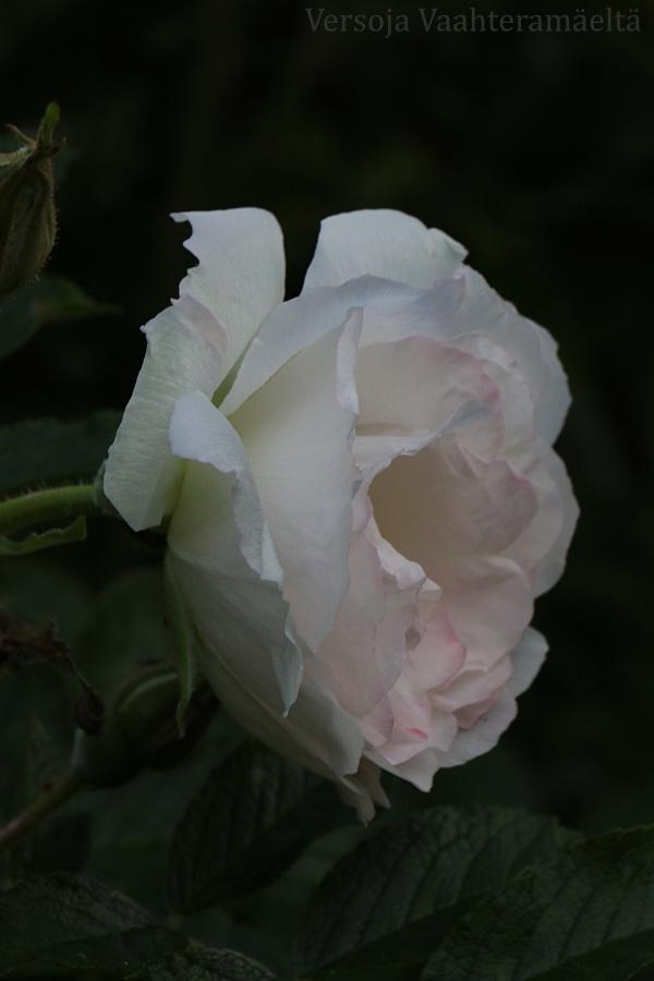 Ruusut remontoivat