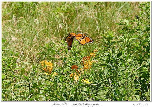 Moose Hill: ... with the butterfly flutter...