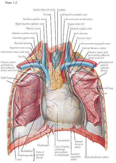 HEART IN SITU