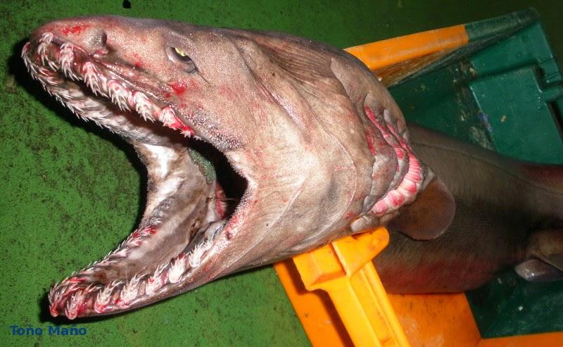 Tiburones en Galicia: Tiburón anguila en O Grove