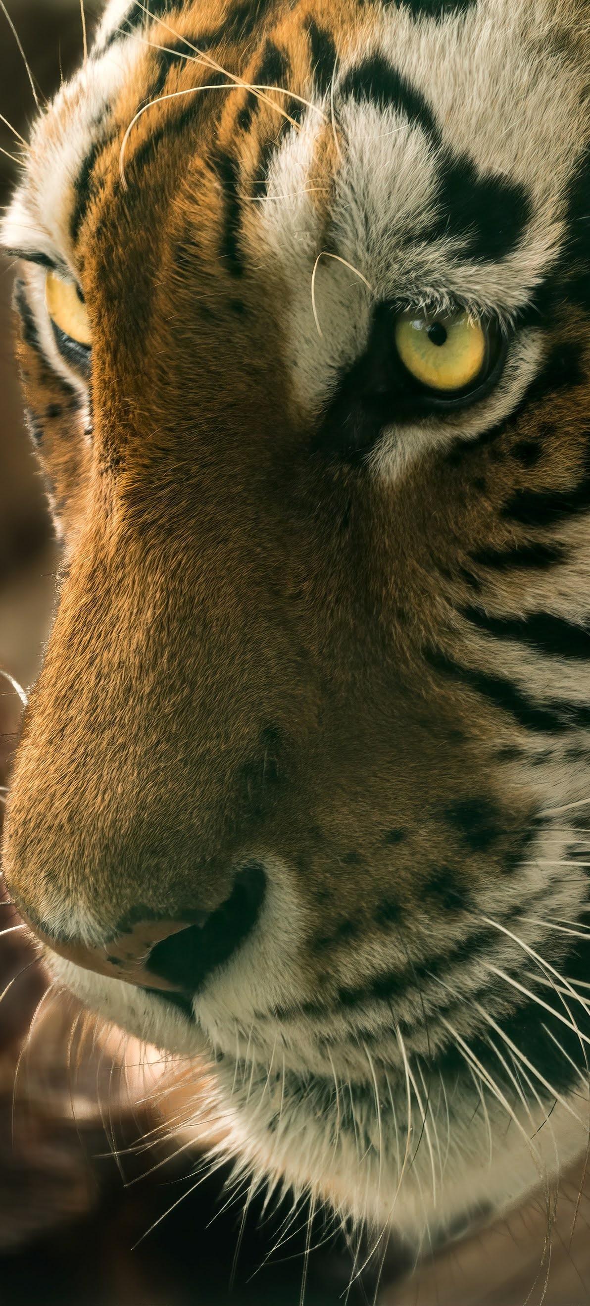 Amazing tiger face capture.