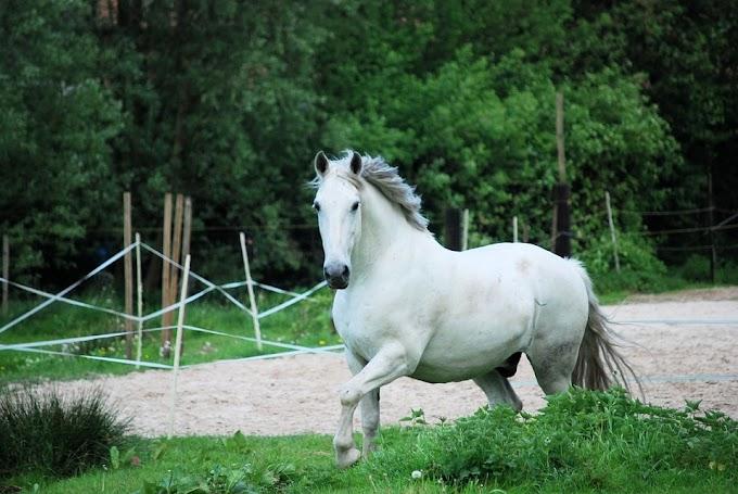 La venta de caballos colombianos ¿qué los hace tan especiales?