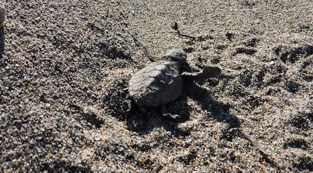 Οδηγίες για την προστασία της θαλάσσιας χελώνας -Συμβουλές σε περίπτωση εντοπισμού ενδείξεων ωοτοκίας