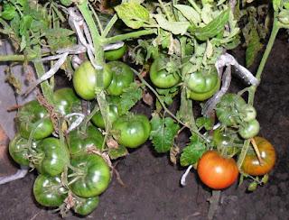 15 августа. Поспевают певые безрассадные помидорки, посеяны семенами в начале мая