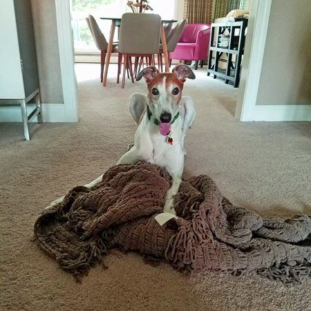 image of Dudley the Greyhound crouching on the floor over a blanket he's pulled off the couch