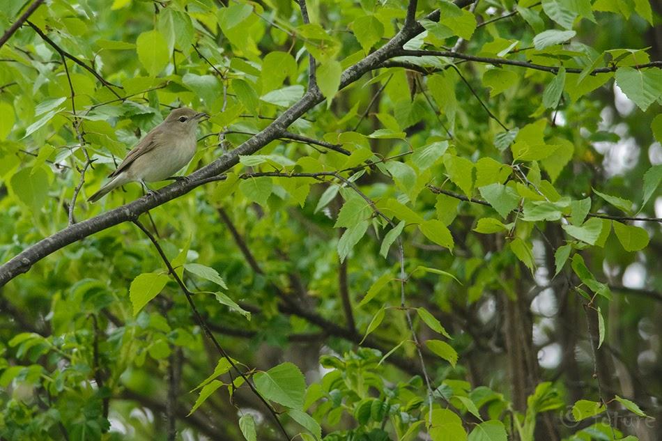 Aed-Põõsalind, Sylvia borin, Garden Warbler