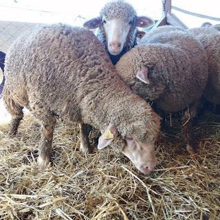 koyunlarda kan değişimi nedir nasıl yapılır