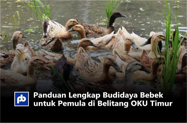 Panduan Lengkap Budidaya Bebek untuk Pemula di Belitang OKU Timur