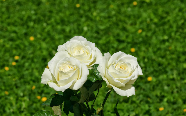 White Rose Wallpapers Free Download