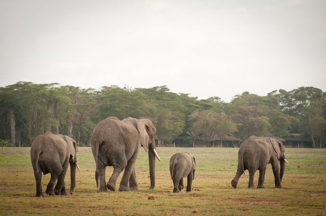 Elephant goodbye in Amboseli, Kenya