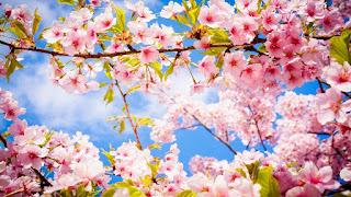 Gambar Bunga Sakura Paling cantik di Jepang 16000