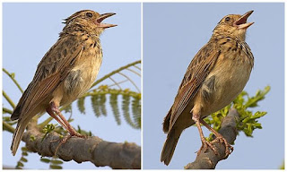 Burung Branjangan - Perbedaan Burung Branjangan Jantan dan Betina Saat Masih Trotol