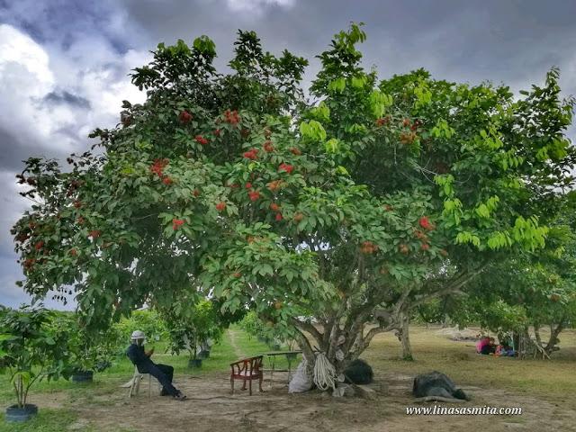 Kebun Rambutan