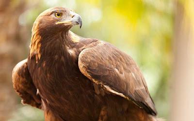 Características Águila Real