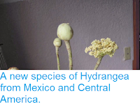 http://sciencythoughts.blogspot.co.uk/2014/03/a-new-species-of-hydrangea-from-mexico.html
