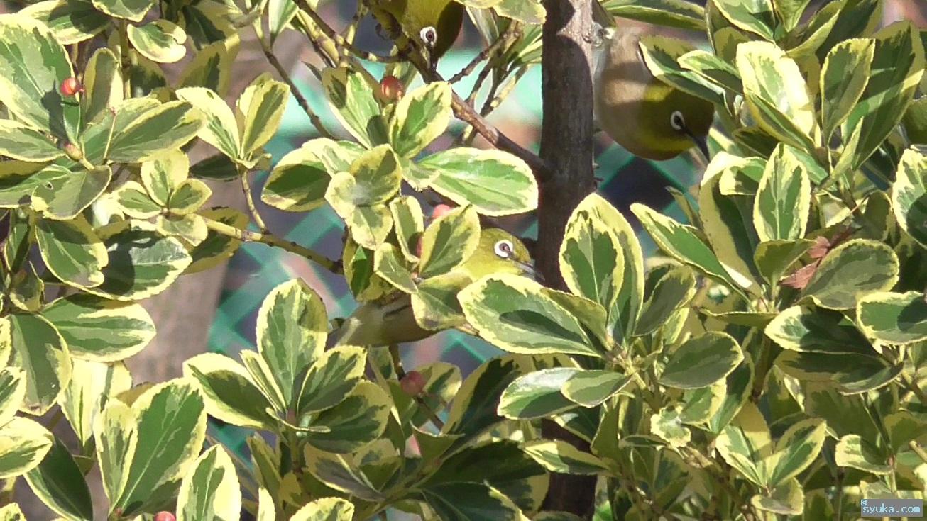 メジロが集まる黄覆輪柾